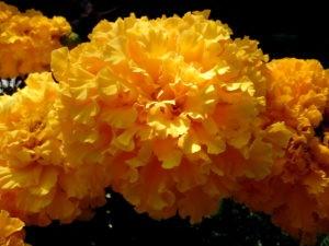 Желтые бархатцы