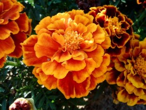 Оранжевые бархатцы
