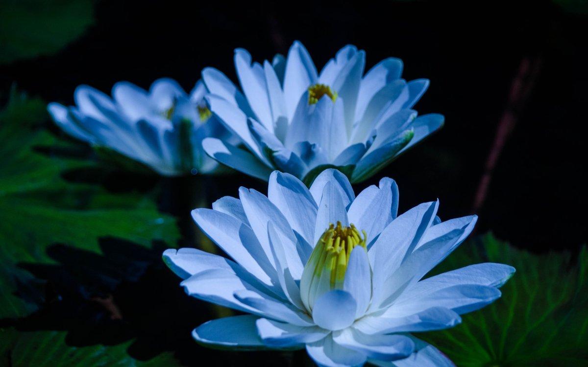 Голубой лотос